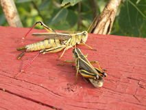 Two grasshoppers Royalty Free Stock Photo