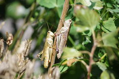 Two Grasshoppers Stock Image