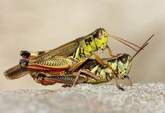 Two grasshoppers. Royalty Free Stock Photos