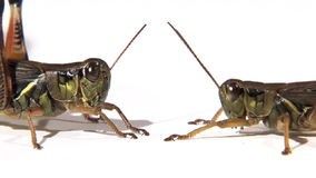 Two grasshoppers face to face. Side view of two grasshoppers face to face stock footage