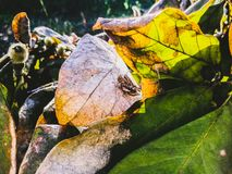 Two grasshoppers during mating on dried magnolia leaves. stock image