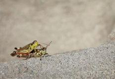Two grasshoppers Royalty Free Stock Images