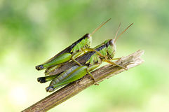 Two grasshoppers. Happy two grasshoppers in the sun Royalty Free Stock Photos
