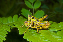 Two grasshoppers on leaf 4 Royalty Free Stock Image