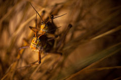 Two Grasshoppers Mating Royalty Free Stock Photos