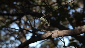Two grasshoppers mating on a tree branch. stock footage