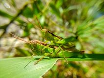 Two grasshoppers together, one on the other`s back. Royalty Free Stock Images