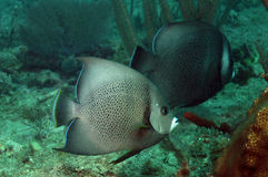Two gray angelfish swimming in ocean Stock Photography