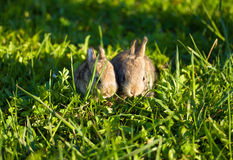 Two gray bunnies in green grass Stock Image
