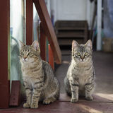 Two gray cat. Sitting on the doorstep Stock Images