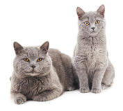 Two gray cat. Royalty Free Stock Photography