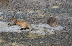 Two gray cats laying on the ground Stock Photos