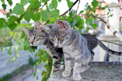 Two gray cats over green leaves Stock Images