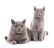 Two gray cats. Royalty Free Stock Photography