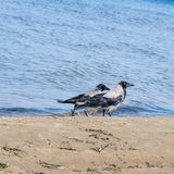 Two gray crows walking along the shore of the Baltic Sea in search of food. Corvus cornix. Passerine. royalty free stock photo