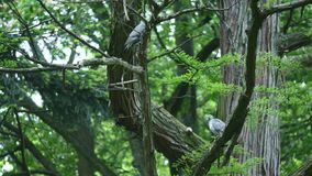 Two gray doves sitting on a tree branch.  stock footage