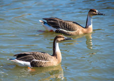 Two gray duck floating on water. Russia Royalty Free Stock Photography