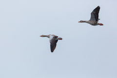 Two gray geese anser anser in flight Royalty Free Stock Photo