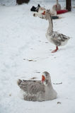 Two gray goose Stock Photography