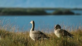 Two gray goose stand on the shore of the oceanic bay. Andreev. stock video