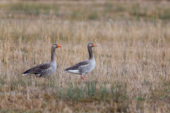 Two gray gooses Anser anser standing in reed meadow with reed Royalty Free Stock Photography