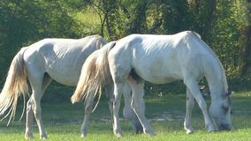 Two Gray Horse Grazes Green Grass on a Lawn And Waves Its Tail in Slow Motion. An Encouraging View of Two White Mares Which Are Grazing Grass on a Lawn in a stock video