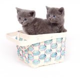 Two gray kittens in a basket Royalty Free Stock Photo