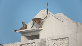 Two gray langur (Semnopithecus dussumieri) invade a rooftop in Pushkar city stock footage