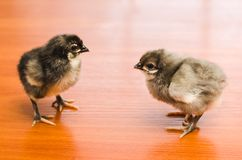 Two gray little chickens on a wooden surface royalty free stock photo
