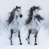 Two gray long-maned Andalusian horses run gallop across field. Two dapple-grey long-maned Andalusian horses run gallop across snowy field. Square outdoors image Stock Image