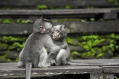 Two Gray Monkey on Black Chair Royalty Free Stock Photo
