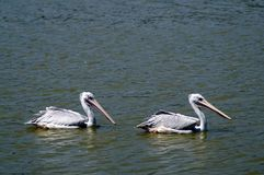 Two gray pelicans swim along the water. The gray pelican floats along the calm water. Green water. Side view. Great beak. Waterfowl. Gray feathers. Curved neck Stock Image