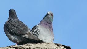 Two gray pigeons kissing dove on blue sky background stock video
