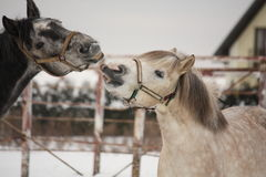 Two gray ponies fighting playfully Stock Photography