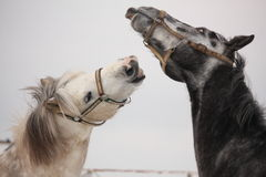 Two gray ponies fighting playfully Royalty Free Stock Images