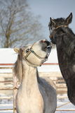 Two gray ponies fighting playfully Royalty Free Stock Photos