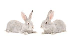 Two gray rabbit Stock Photo