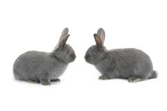 Two gray rabbit Royalty Free Stock Images