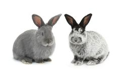 Two gray rabbit Stock Photography