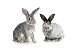 Two gray rabbit Royalty Free Stock Photography