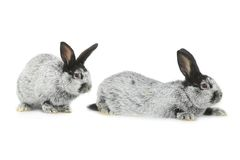 Two gray rabbit Royalty Free Stock Image