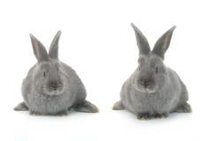 Two gray rabbit Stock Image