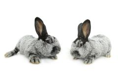 Two gray rabbit Stock Photo