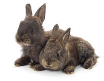 Two gray rabbits Stock Images