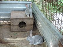 Two gray rabbits sitting in a cage near their booth. Household in rural areas.  stock image