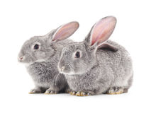 Two gray rabbits. Two gray rabbits on a white background Royalty Free Stock Photography