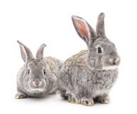 Two gray rabbits. Stock Images