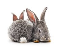 Two gray rabbits. Royalty Free Stock Images