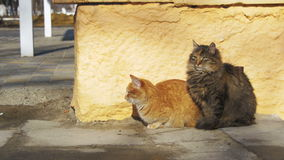 Two Gray and Red Homeless Cats on the Street in Early Spring. Cats sit on the sidewalk stock footage