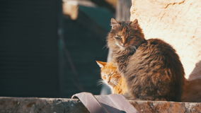 Two Gray and Red Homeless Cats on the Street in Early Spring. Slow Motion stock video footage